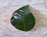 Bán lá chè tươi Suối Giàng tại Hà Nội