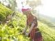 Vùng trà Phình Hồ cần được quy hoạch và phát triển bền vững